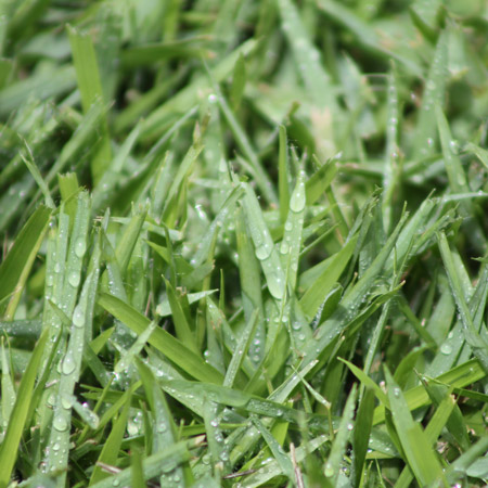 Platinum Zoysia Grass Close Up