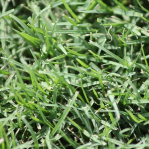 Nullarbor Couch Turf Close Up