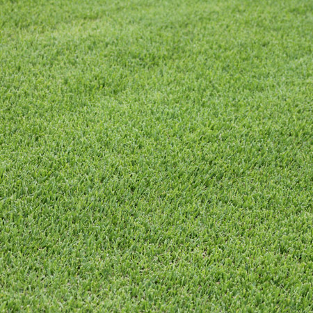 Sir Walter Buffalo Turf Lawn