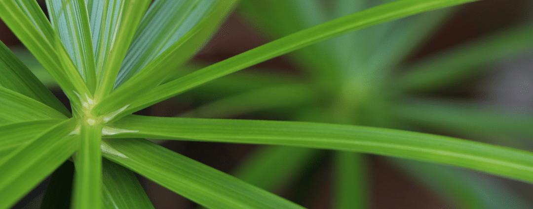 Getting Rid of a Nutgrass Problem