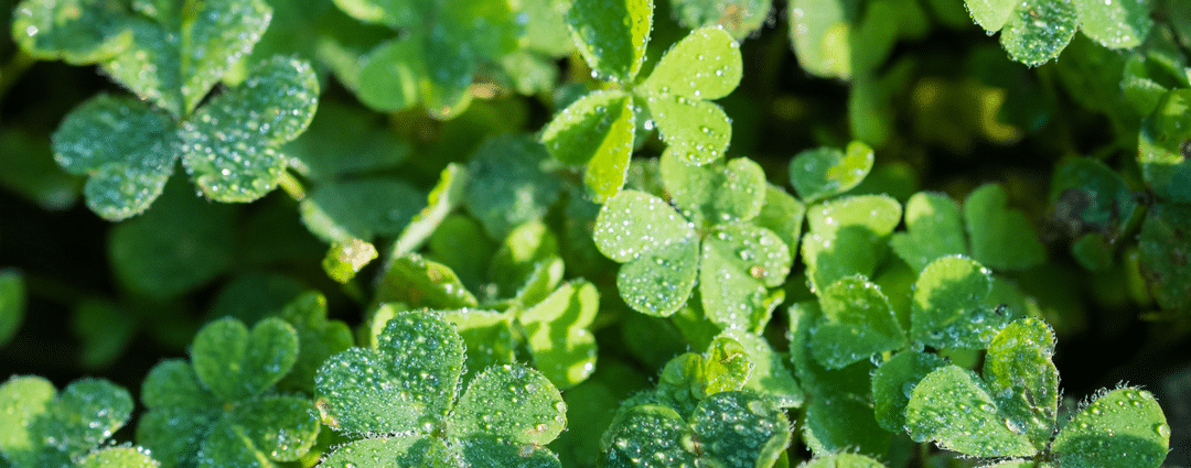 Dealing with Oxalis in Lawn