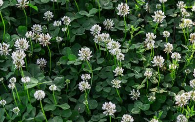What Clovers Really Mean for Your Lawn