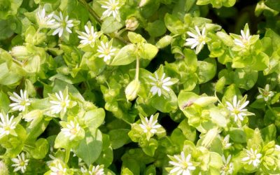 The Simple Solution to Deal with Chickweed
