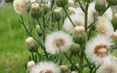 Fleabane: The Pain in Your Backside