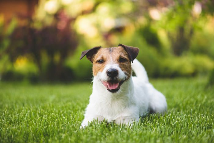 What's the best grass for dogs