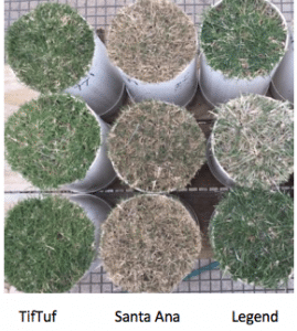 Comparing TifTuf to other turf varities