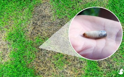 What Are Lawn Grub Worms And How Do I Get Rid Of Them?