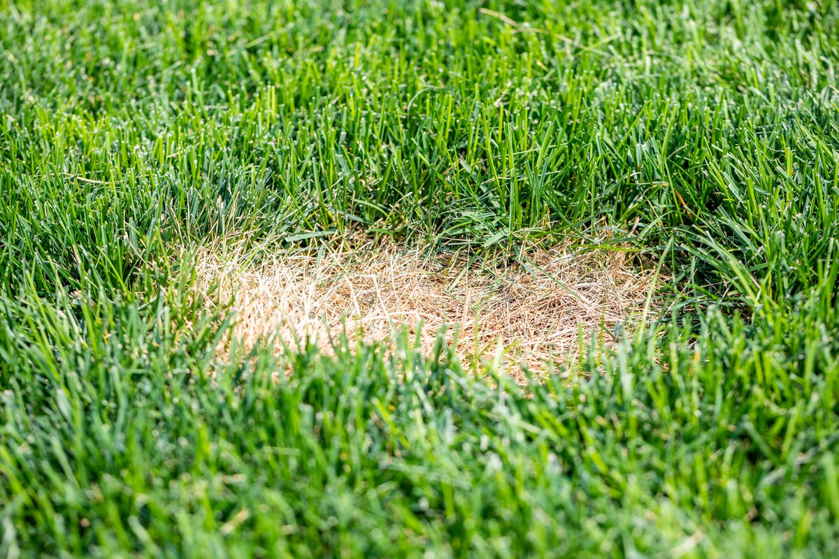 How to Tell if You Have Grass Grubs