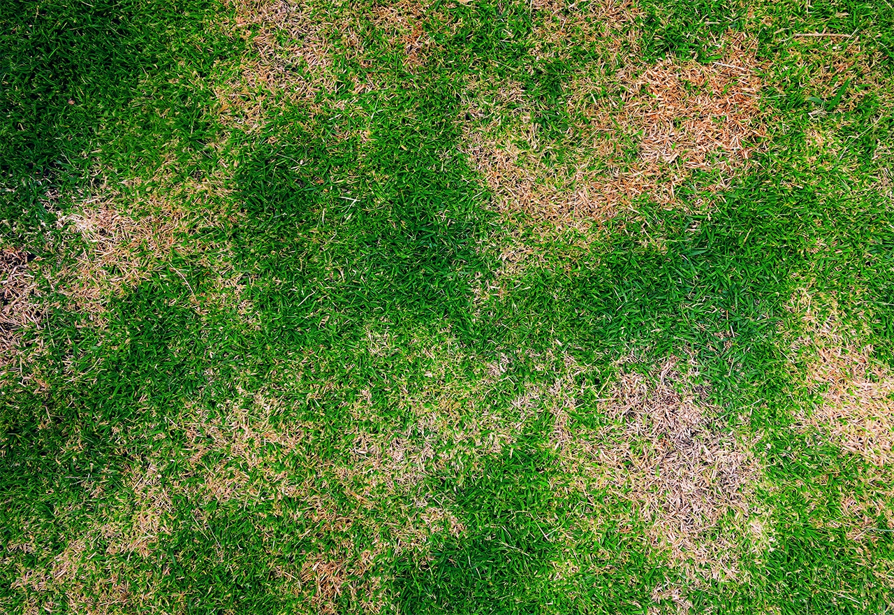Lawn Grubs Causing Brown Patches in your Lawn