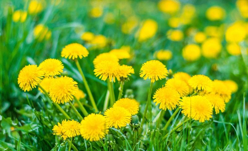 How to control Dandelion weeds