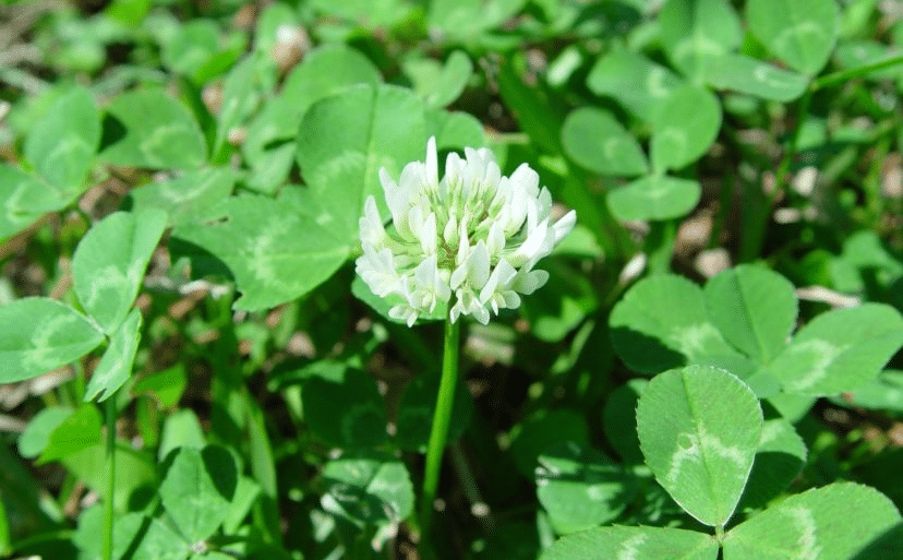 How to control and stop White Clover Lawn Weeds