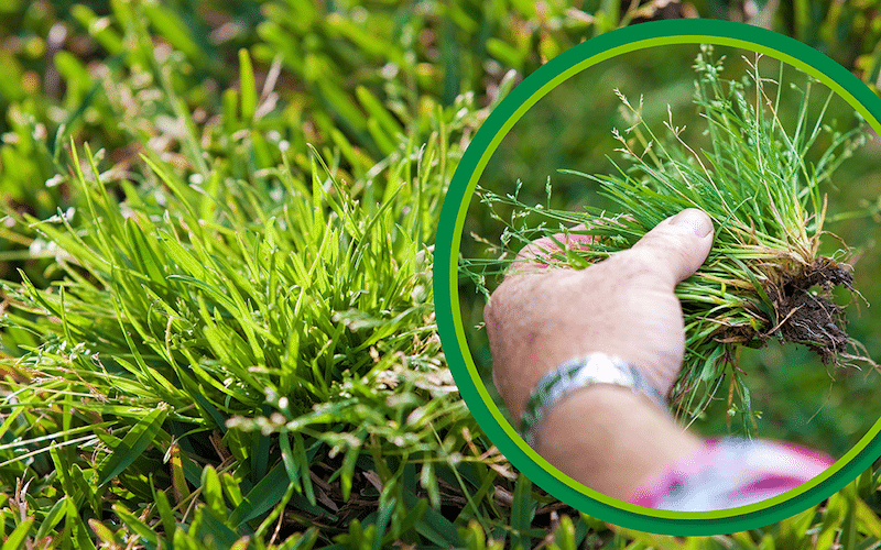 How to control Wintergrass weeds