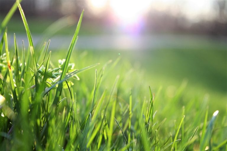 Common Lawn Weeds to Look Out For