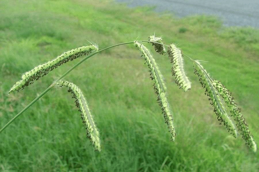 How to control Capeweed Weed